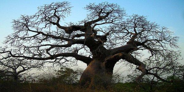 les bienfaits du baobab sur la sant humaine. Black Bedroom Furniture Sets. Home Design Ideas