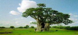 Les bienfaits du fruit du baobab sur la santé