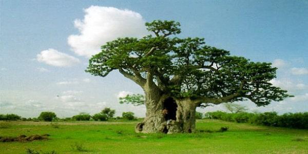 les bienfaits du fruit du baobab sur la sant. Black Bedroom Furniture Sets. Home Design Ideas