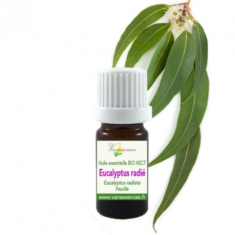 eucalyptus radié